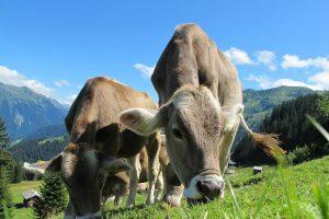 estate-inpsieme-sestriere-mucche