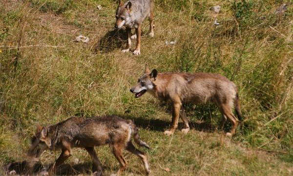 Civitella Alfedena area faunistica del lupo